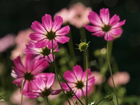 Cosmos backlight photo