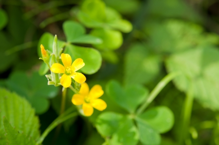 Oxalis in the green photo