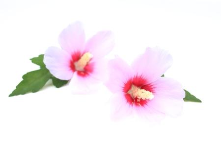 Flower of Rose of Sharon