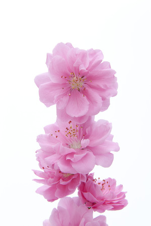 Peach flowers photo