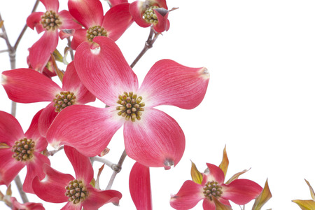 Flower of red dogwood photo