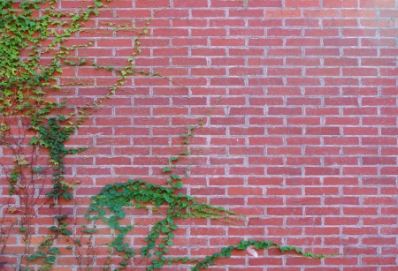 Brick wall and ivy photo