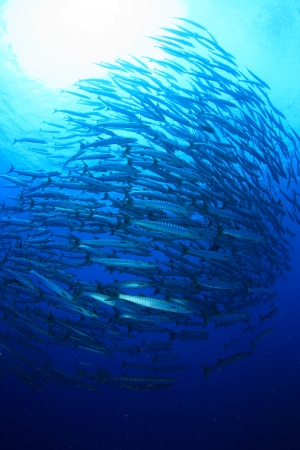 School of barracuda photo