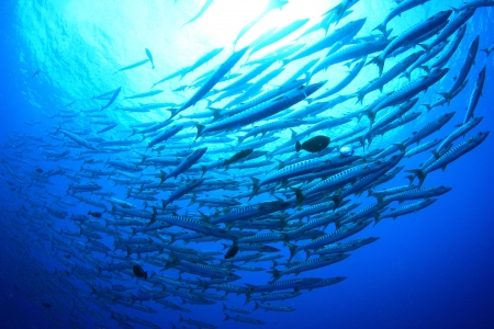 A school of barracudas photo