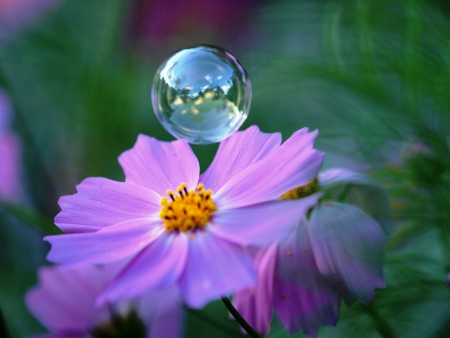 Soap bubble hovering above a cosmos flower photo