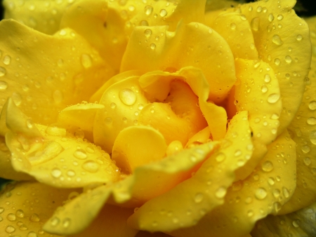 Close up of a yellow rose photo