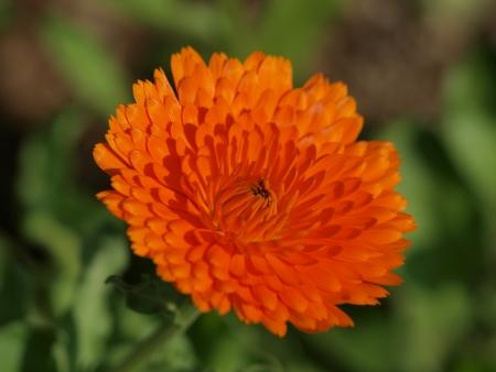 Calendula flower photo