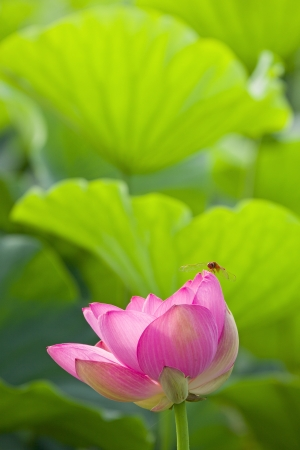 Red dragonfly on a lotus flower photo