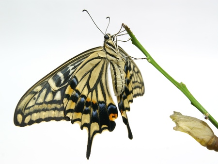 A newly emerged butterfly and its cocoon photo