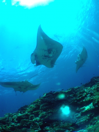 Manta rays Stock Photo - 25060924