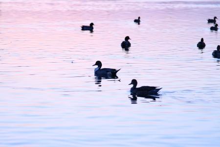 Ducks wading in water photo