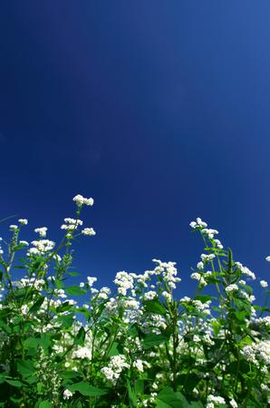 Buckwheat flowers photo