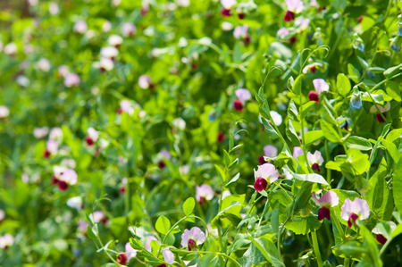 Pea flowers photo