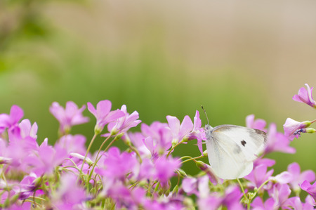 Cabbage butterfly on pink flowers photo
