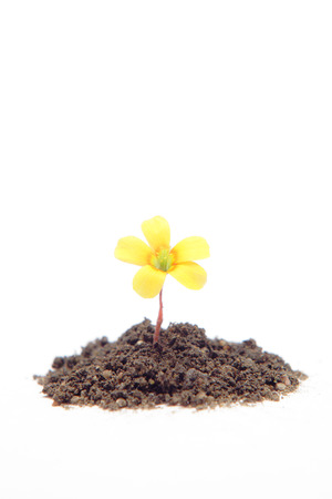 Yellow flower growing from soil photo