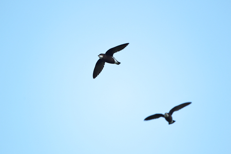 White-throated Needletail photo