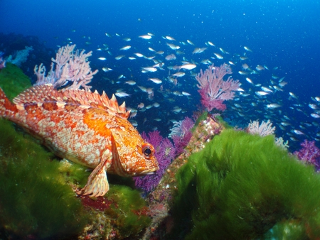 Scorpion fish photo