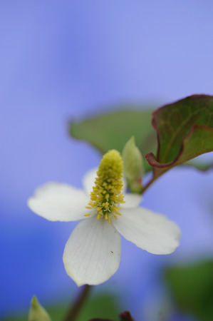 Houttuynia cordata photo