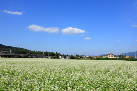 Landscape of buckwheat field  photo