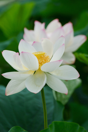 White lotus flowers photo
