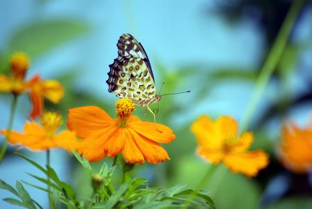 Butterfly on yellow flowers  photo