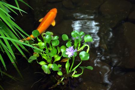 A Japanese Koi fish swimming at the pond photo