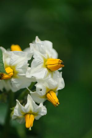 Potato flowers photo