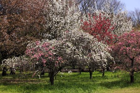 Peach blossom flower tree photo