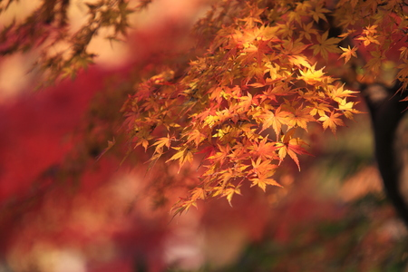 Maple leaves during autumn photo