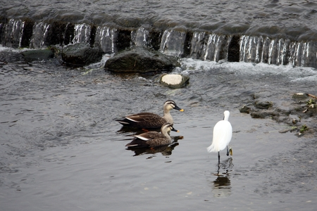 Two spot-billed ducks and a white egret on a flowing river photo