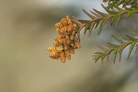 Male Cedar flower  photo