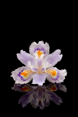 Fringed iris photo