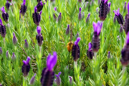 Bee and lavender photo
