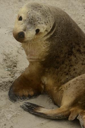 Sea Lion Seal Bay Kangaroo Island Stock Photo - 23690863