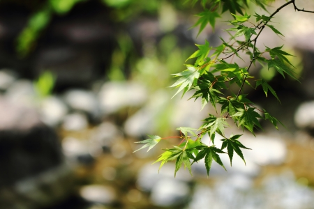 Clear stream with Acer palmatum Stock Photo - 23694752