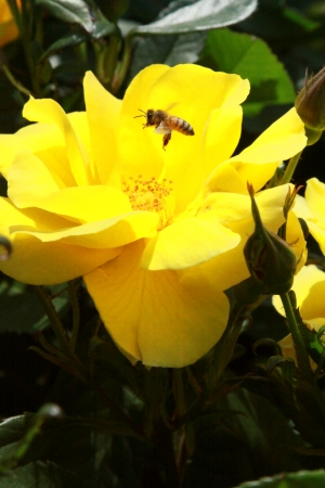 Bee and rose photo