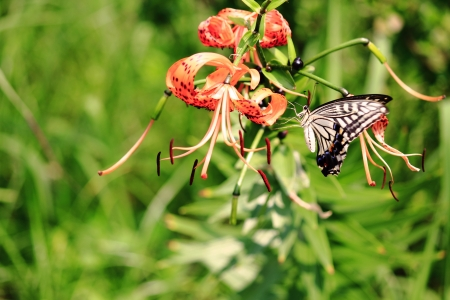 Swallowtail remain in Tiger Lily photo