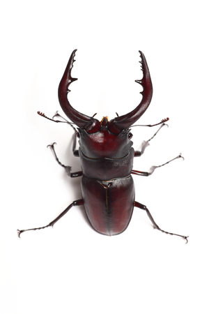 Sawtoothed stag beetle Stock Photo - 23740665