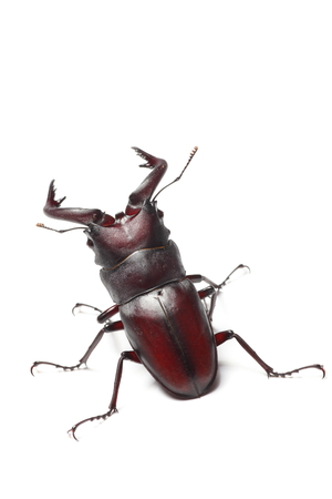 Sawtoothed stag beetle Stock Photo - 23741803