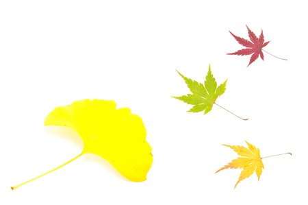 This is a maple leaf and the leaf of Ginkgo biloba were taken in the fall of last year. photo