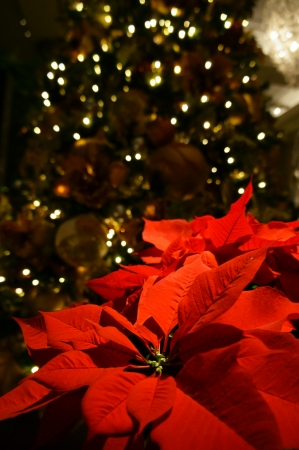 Christmas tree and poinsettia photo