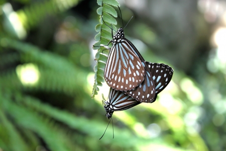 Love of Ryukyu chestnut tiger butterfly photo