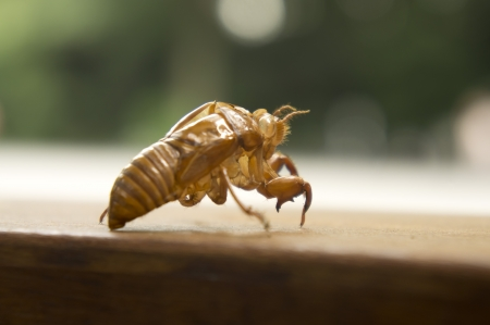 Husk of cicada photo