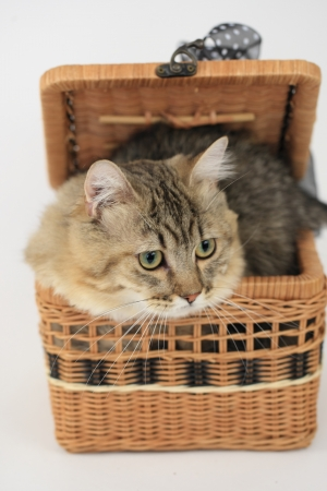Cat into the basket photo
