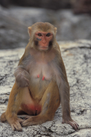 Rhesus macaque sitting on rock,close up photo
