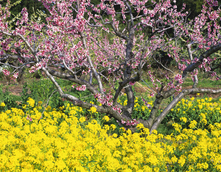 fukushima: Oilseed rape blossoms and peach blossoms,Fukushima Prefecture,Honshu,Japan Stock Photo
