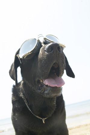Black Labrador wearing flying goggles  photo