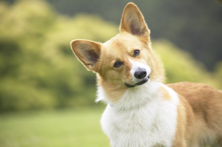 cocked: Pembroke Welsh Corgi with its head cocked to the side