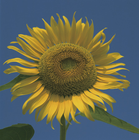 prefecture: Sunflower,Niigata Prefecture,Japan Stock Photo
