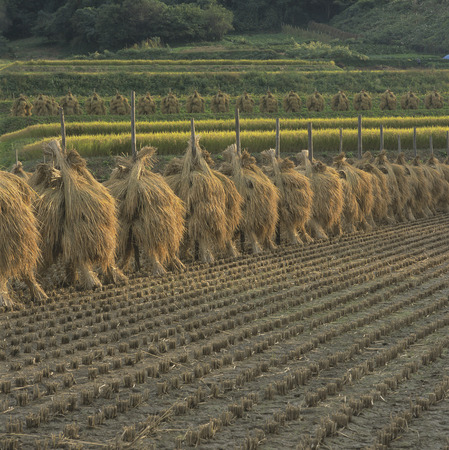 Rice Drying in a Field,Fukushima Prefecture,Japan photo